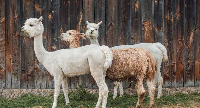 Alpacahoeve Teylingen